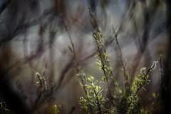 Rain (pszcz9) Tags: polska poland przyroda nature natura wierzba willow gałąź branch bokeh rain deszcz wiosna spring beautifulearth sony a77 parknarodowy nationalpark