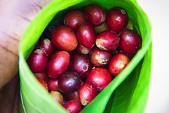 2016 Oct - closeup of coffee cherry (Foods Resource Bank) Tags: haiti caribbean coffee farmers men women pruning improved income humanitarian food security development charity hunger