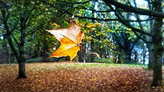 This single leaf wasn't ready to fall from the tree, so it hung onto one strand of webbing and swayed with the wind. (moniraza30) Tags: leaves forestpark fall autumnleaves flickrfriday