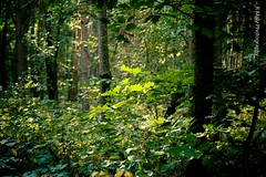 The forest (Ren Maly) Tags: renmaly forest bos woods nature green leaves canon 5d 24105mm ef24105mmf4l