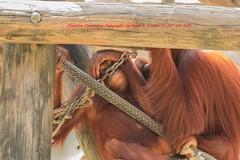 Tampa Zoo (299) 20160813 (gaijinnokoi) Tags: kimler lowry zoo duck tiger elephant giraffe orangatan tampa florida bird nikon d7100 blackandwhite bw