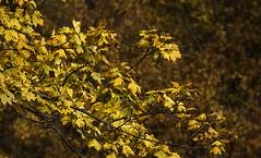 Les premires couleurs (mrieffly) Tags: feuillesdautomne automne2016 jaunedor canoneos50d