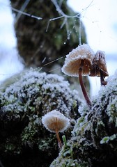 More like November (stuant63) Tags: scotland perthshire kinclaven ice web toadstools mushrooms frozen winter north wood forest