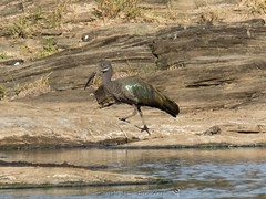 Hadada Ibis (Makgobokgobo) Tags: hadadaibis ibis bird masaimaranationalreserve masaimara mara kenya africa bostrychiahagedash bostrychia