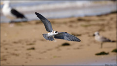 Black Tern (Chlidonias niger) (Steve Arena) Tags: chlidoniasniger blte blacktern marshtern tern highheadbeach northtruro barnstablecounty massachusetts nikon d750
