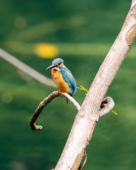20161121-EM1X5645 (shutterblades) Tags: btnr birds bukittimahnaturereserve commonkingfisher olympusem1 olympusmzuiko300mmf4pro14tc