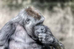 Gorilla (re-processed) 2013-12-31 (IMG_7928) (ajhaysom) Tags: westernlowlandgorilla gorilla canoneos60d sigma120400 melbourne australia