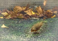 Rouge gorge. (Crilion43) Tags: oiseaux rougegorge canonfrancevreaux jardin tamron objectif pelouse extrieur plume feuilles rflex france vreaux divers centre canon 1200d