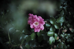 - (-LilyBeth) Tags: rose nikon d3000 colors nature natura wonderfulworld flowers outside bokeh dof depthoffield green