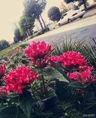Like a sweetheart (dxm8975) Tags: flowers plants nature beauty memory reddish