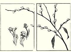Pheasant's eye and willow (Japanese Flower and Bird Art) Tags: flower pheasant's eye adonis amurensis ranunculaceae willow salix warburgii salicaceae soken yamaguchi maruyama shijo woodblock picture book japan japanese art readercollection