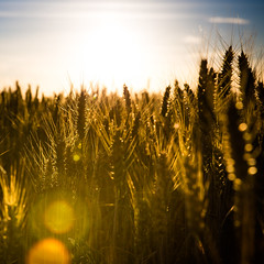 Agriculture... (Zeeyolq Photography) Tags: agriculture corn field food nature sunset wheat milizac bretagne france