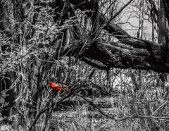 cardinal in tree (ty.burdick) Tags: bird cardinal