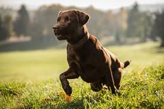 taylor_tal-4 (Florian Jakob Rothlehner) Tags: hund hasutier drausen blitz strobist 6d canon bokeh lastolite firefly yongnuo