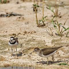 #_  #goodevening # #birds #bird #instabird #  #_ #_ #Waterbird #Waterbirds  #waterfowl #instabirds #insyaanimals #instaanimal #animal #animals #hdr #sonyalpha  #saudiarabia  # # # # # #s (photography AbdullahAlSaeed) Tags: goodevening birds instabirds    animal hdr      waterfowl goodmorning waterbird  saudiarabia instaanimal  instabird bird sonyalpha sonya animals  insyaanimals waterbirds