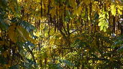 Autumn 2016 (Pierre Pattipeilohy) Tags: wing wingnut tree baume bohm larbe yellow gelb geel kuning vleugelnootboom wingnuttree closeup herbst herfst otono pierrepattipeilohy outside trees leaves bladeren blatter