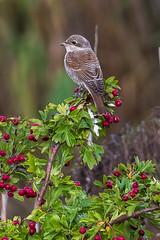 Lanius collurio / Red-backed shrike / C- / Rdrygget tornskade (Svitlana Tkach) Tags: wild wildlife birdwathing birding lanius collurio redbacked shrike c rdrygget tornskade