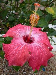 Florida, The Villages, Sanibel, Red (Dark Pink?) Hibiscus Flower (Mary Warren (7.6+ Million Views)) Tags: florida thevillages nature flora red pink macro bloom blossom flower hibiscus coth5