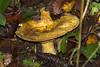 Grubiger Milchling ? , NGIDn1243321918 (naturgucker.de) Tags: ngidn1243321918 naturguckerde grubigerfichtenmilchlinglactariusscrobiculatus weinstadt mühlhöfle cvolkerherdtlepilz