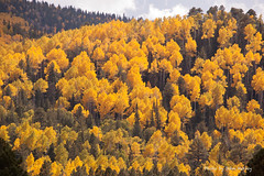 Forest of Yellow Aspens (JohnHersey16) Tags: lockettmeadow natural color graphic pictures nature leaf trees picture tree falll scenic outdoors stockphotos wood autumn landscape season mountains golden gold images aspen sky stockphotograph aspentrees leaves foliage colorful stockphotographs aspens travel hartprairieartizona flagstaffarizona royaltyfreephoto woods graphics usa forest stockimage yellow
