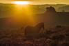 Posbank (Pieter Mooij) Tags: posbank gelderland hogeveluwe rheden arnhem paarden horses cheveaux paard zonsopgang sunrise