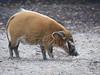 Penseelzwijn - red river hog (Arend Vermazeren) Tags: penseelzwijn zwijn potamochoerusporcus porcus redriverhog hog pig bushpig