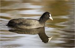 Coot (cconnor124) Tags: billinge england unitedkingdom gb coots smallbirds waterbirds birdphotography uknature naturephotography canon100400lens canon7dmk11