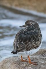 Ruddy Turnstone (J.B. Churchill) Tags: birds maryland places rutu ruddyturnstone shorebirds sunsetpark taxonomy worcester oceancity unitedstates us