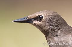 Starling - juvenile (Lee Hudson photography) Tags: starling sturnus vulgaris leehudson bird britishwildlife stare