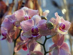 Orchidee (ingrid eulenfan) Tags: pflanze exotische orchidee blte