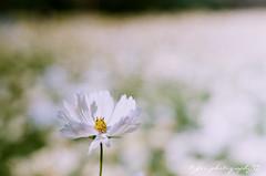 ( ()) Tags: pentax m42 spf  film  supertakumar55mmf18 takumar 55mm f18 55 18 bokeh rossmann 200 rossmann200 filmphotography  japan   cosmos