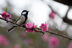 Blossoms and a bird (Takashi(aes256)) Tags: bird spring blossom     showakinenpark  wildbird  japanesetit  canonef400mmf56lusm  canoneos7d