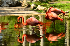 DSC_6036 (kazpal) Tags: nature beautiful birds colours florida wildlife flamingogardens nokond7000