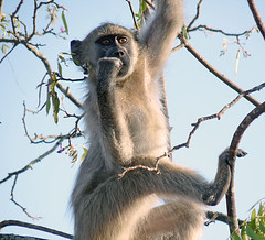 Kruger National Park - South Africa (Globetreka) Tags: southafrica monkeys krugernationalpark musictomyeyes thenaturalworld naturesanctuary visittheworldthetravelguide artistoftheyear worldwidewanderingatravelatlas clikclak goldstaraward capturedimages photographersworld worldwidetravelogue ringexcellence flickrtravelaward nationalgeographicworldwide fantasticnaturepost natureultimate