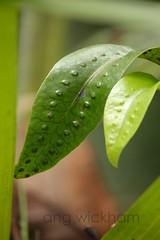Kowaowao. Hounds tongue fern. Microsorum pustulatum. (nznatives) Tags: autumn fern frond nz epiphyte fertile nznative northlandnz puketiforest kowaowao microsorumpustulatum houndstonguefern waihoanga