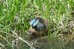 Blue-winged Teal (Anas discors) Female D7K_7299 (NDomer73) Tags: 06may2012 may 2012 bird duck bluewingedteal teal ridgefieldnationalwildliferefuge ridgefield ridgefieldnwr