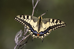 Machaon (kookaburra 81) Tags: machaon saintpons