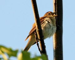 Veery 3 (mbmcclintock) Tags: aroundhome