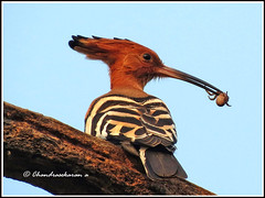 3141 - common hoopoe with a spider catch (chandrasekaran a 530k + views .Thanks to visits) Tags: india nature birds canon common chennai hoopoe powershotsx40hs