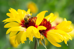 Day 20 - Busy bee (Alexandru Georgescu) Tags: flower up yellow close bee polen