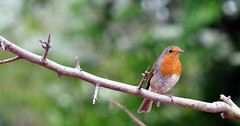Robin...... (MWBee) Tags: robin nikon cheshire chester d5000 mwbee quotchesterzooquot quotrobinredbreastquot