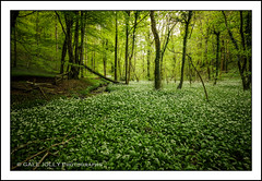 Wild Garlic - Ramson - Allium ursinum (Gale's Photographs) Tags: nikon wideangle 1020mm wildflower wildgarlic sigma1020mm ramson alliumursinum d90 nikond90 bbcwalesnature