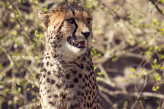 Cheetah portrait II. (Raveniith) Tags: wild portrait nature beautiful animal tongue cat zoo spring big sweden wildlife teeth cheetah