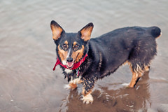 239/366 - Corgi Soak (Brian.Buckler) Tags: bear 2 dog lake chicago beach canon project pembroke eos illinois corgi belmont mark michigan brian 85mm il ii 5d welsh 365 18 ef koda 366 buckler 5d2