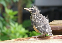 Totally vulnerable (Jer*ry) Tags: baby bird robin