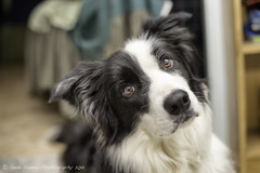 Enough Photos Already (Sean Savery Photography) Tags: portrait dog cute horizontal sony bordercollie slt puppydog cutenessoverload a99 sony50mmf14 horizontalportrait seansaveryphotography