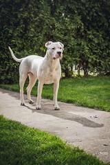 (Katarina Drezga) Tags: dog pets dogs perro perros dogphotography petphotography dogoargentino