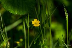 Flora IMG_7306 (Orkakorak) Tags: 2 two colors flora thumbsup wildflower storybookwinner agcgsweepwinner