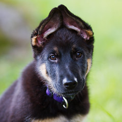 Hera (Timo Vehvilinen) Tags: summer portrait dog puppy dof bokeh germanshepherd canon135mmf2l