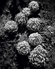 Sun kissed (Sharon LuVisi) Tags: blackandwhite bw nature monochrome garden mono succulent cluster monotone dirt 365 iphone echeveria melodie 2013 iphone365 iphoneography aobw hipstamatic touchretouchhd 3652013 snapseed